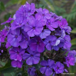 Phlox 'Blue Night'