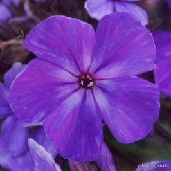 Phlox 'Blue Night' (2)
