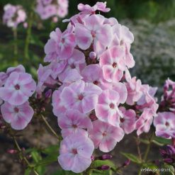 Phlox 'Duchess of York'