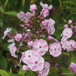 Phlox 'Duchess of York' (5)