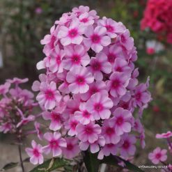 Phlox 'Eden's Crush'