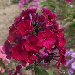 Phlox 'Esmeralda'