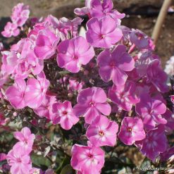 Phlox 'Esther'