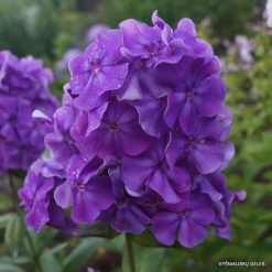 Phlox 'Faberge'
