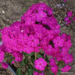 Phlox 'Gartendirector Brodersen'