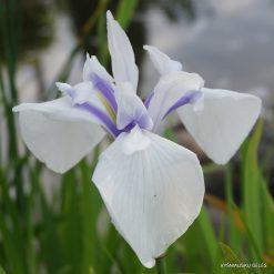 iris 'Rowden Starlight'