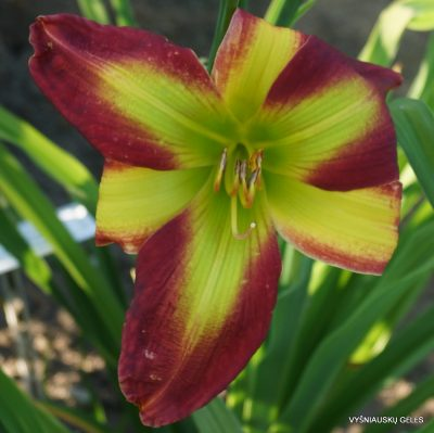 Daylily 'Fried Green Tomatoes' (2)
