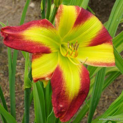 Daylily 'Fried Green Tomatoes'