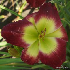 Daylily 'Green Spill'