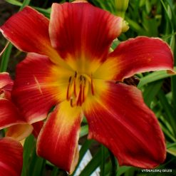 Daylily 'My Heart Belongs to Daddy'