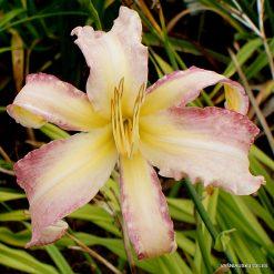 Daylily 'Panama Pink'