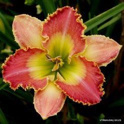 Daylily 'Rosemary Mussar' (4)