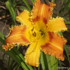 Daylily 'Saber Tooth Tiger'