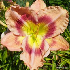 Daylily 'Sight for More Eyes' (3)