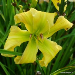 Daylily 'Small World Green Giant'