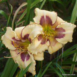 Hemerocallis 'Amber Christina Scott'