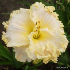 Hemerocallis 'Apple Blossom White'
