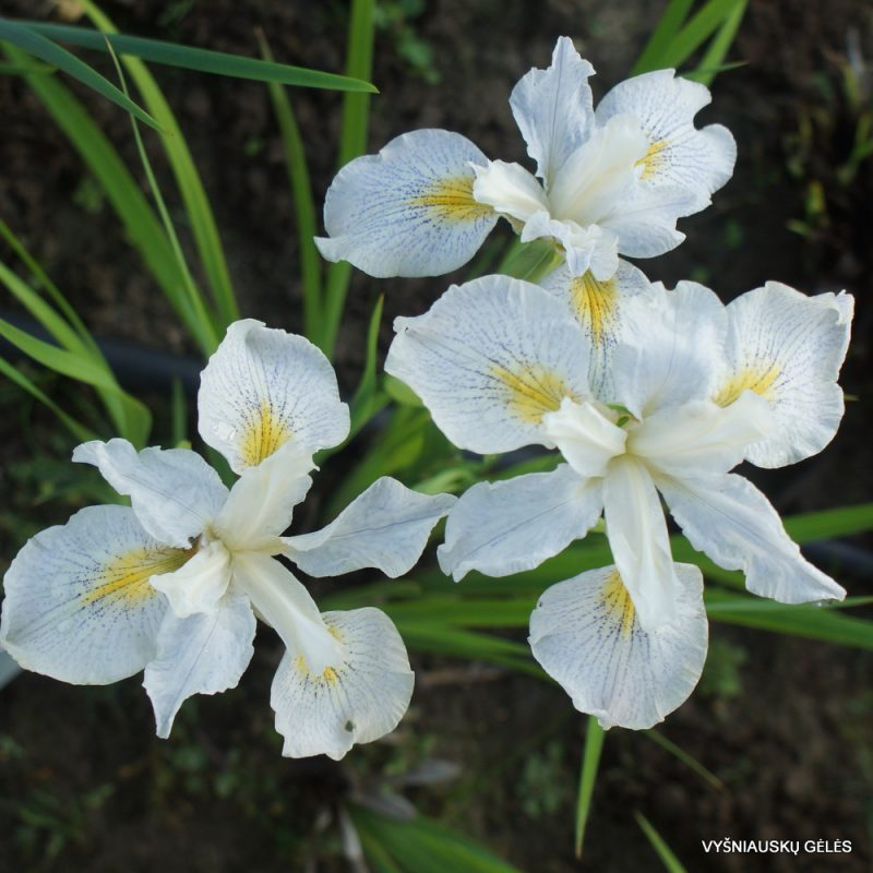 Iris 'Elfenkind' (3)
