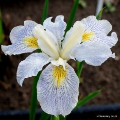 Iris 'Elfenkind'