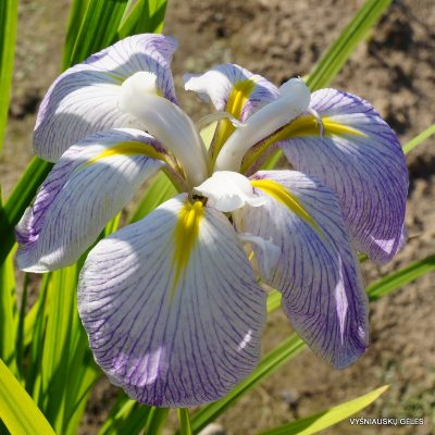 Iris ensata 'Aquamarine' (2)
