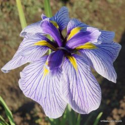 Iris ensata 'Pin Stripe' (3)
