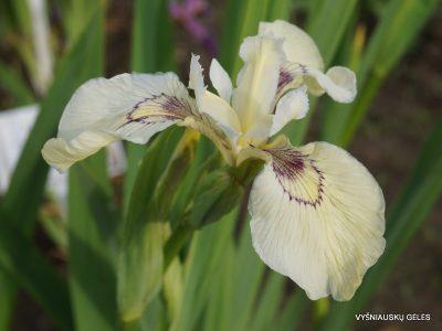 Iris pseudacorus 'Foxcroft Full Moon' (2)