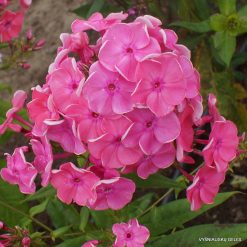 Phlox 'Morgenrood'