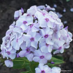 Phlox 'Narciss' (3)