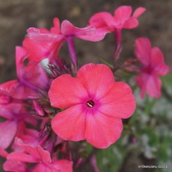 Phlox 'Otley Ideal'