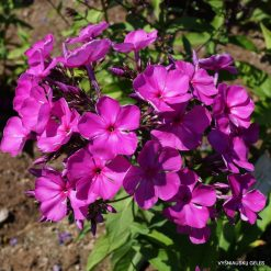 Phlox 'Purple Rain'