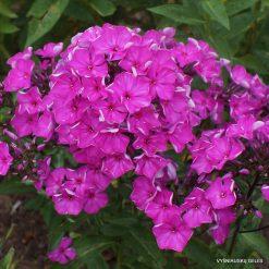 Phlox 'Purple Rain'
