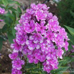 Phlox paniculata Pl - Pz