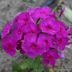 Phlox 'Red Indian'