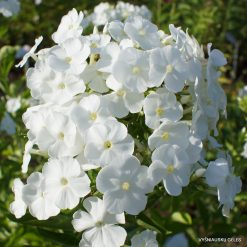 Phlox 'Snow White'