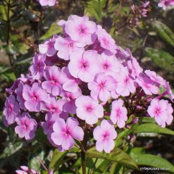 Phlox 'Speed Limit 45'