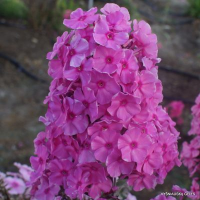 Phlox 'Sweet Summer Fragrance'