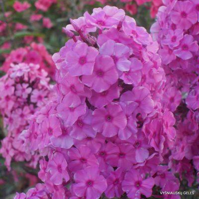 Phlox 'Sweet Summer Fragrance' (2)