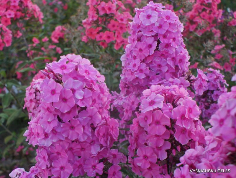 Phlox 'Sweet Summer Fragrance' (3)