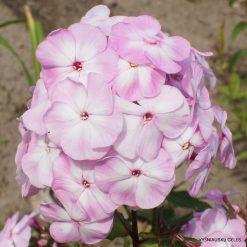 Phlox 'Tsvetushchaya Sakura'