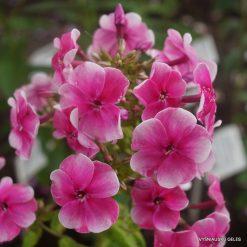 Phlox 'Vasilisa'