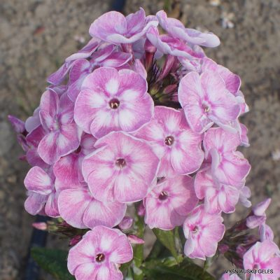 Phlox 'Younique Old Pink' (2)