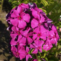 Phlox 'Zacharovannyi Prints'