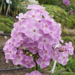 Phlox 'Margot Stephan'