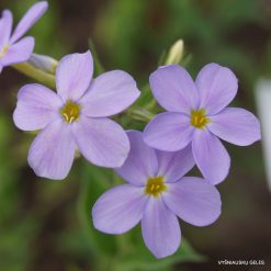 Other Phlox species and hybrids