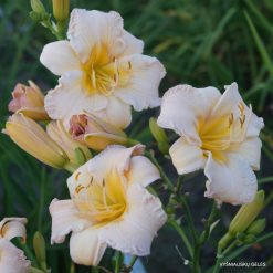 daylily 'Boston Marathon'