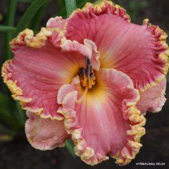 daylily 'Butterfly Ann'