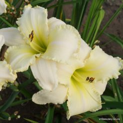 daylily 'Carolina Sugar Daddy'