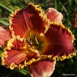 daylily 'Cast Your Crown'