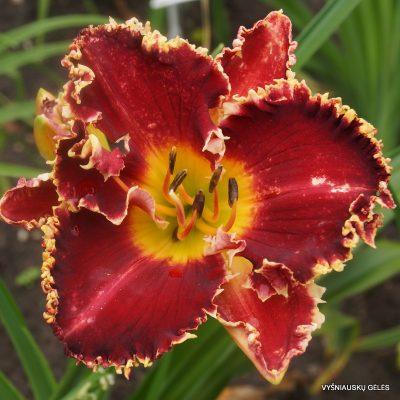 daylily 'Dragon Heart Stone'