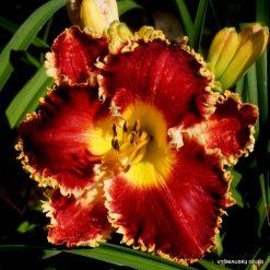 daylily 'Dragon Heart Stone' (2)